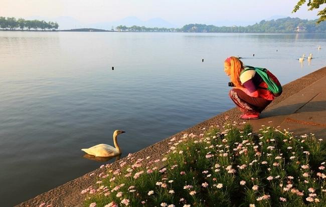 Swans at the West Lake, Hangzhou, China.